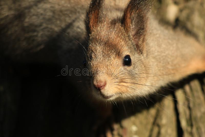 σκίουρος πάρκων στοκ φωτογραφίες με δικαίωμα ελεύθερης χρήσης