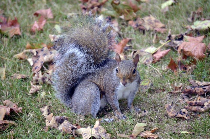 σκίουρος πάρκων στοκ εικόνα με δικαίωμα ελεύθερης χρήσης