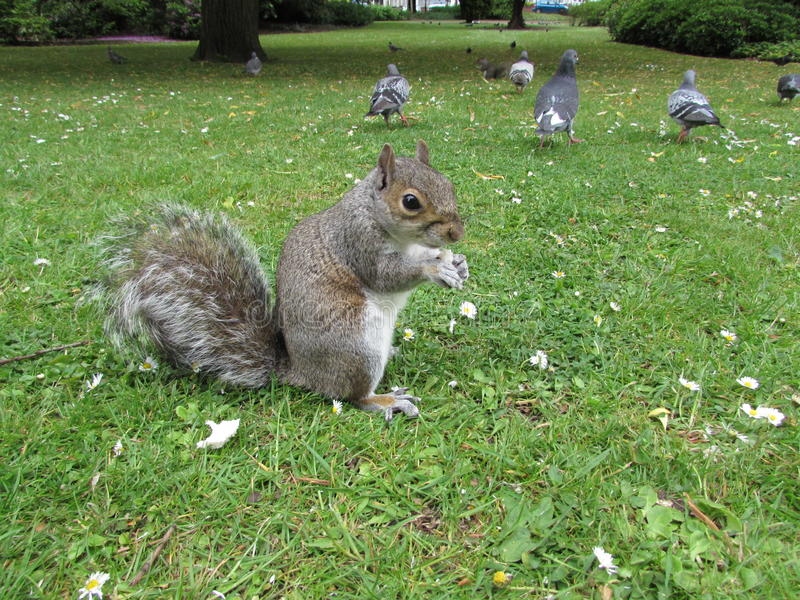 σκίουρος πάρκων στοκ εικόνες με δικαίωμα ελεύθερης χρήσης