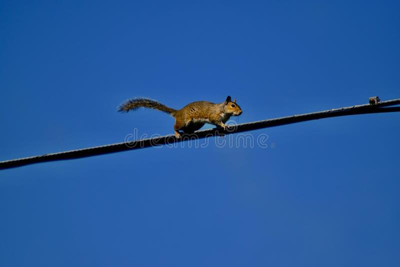 Σκίουρος που περπατά στο ηλεκτρικό καλώδιο στοκ φωτογραφίες
