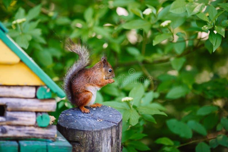 Σκίουρος που στέκεται στη χλόη στοκ εικόνες