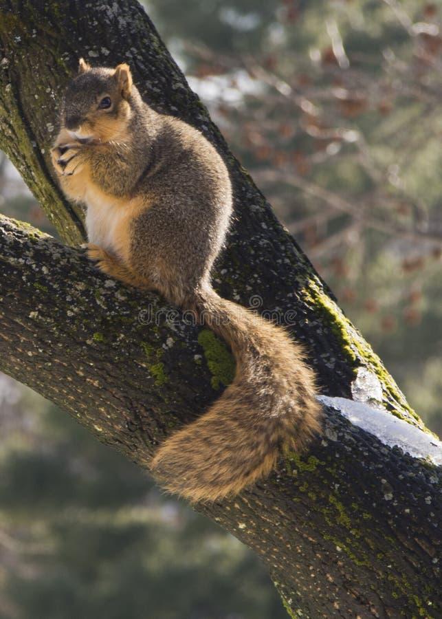 Σκίουρος που τρώει σε έναν κλάδο δέντρων στοκ εικόνες