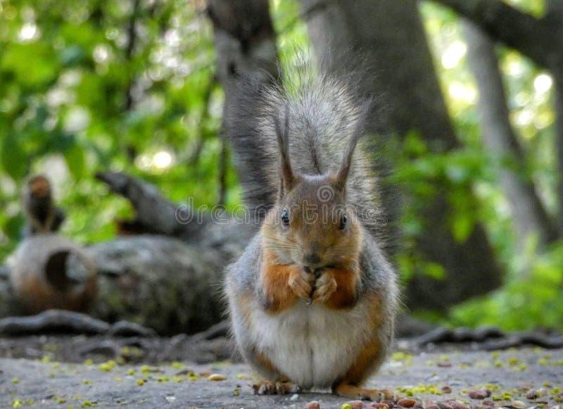 Σκίουρος που τρώει τα φυστίκια στοκ φωτογραφίες