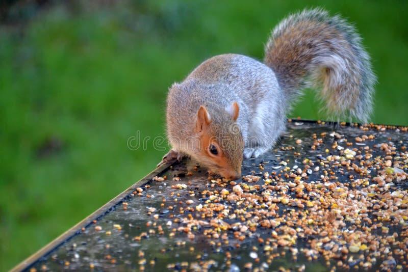 Σκίουρος που τρώει τους σπόρους από έναν πίνακα στοκ φωτογραφία με δικαίωμα ελεύθερης χρήσης