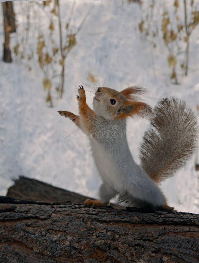 Σκίουρος που χορεύει σε ένα κούτσουρο στοκ φωτογραφία με δικαίωμα ελεύθερης χρήσης