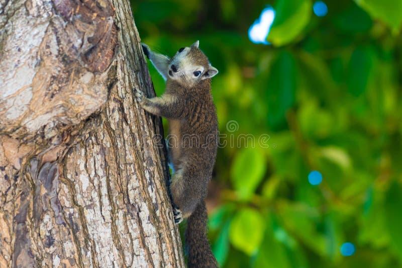 Σκίουρος σε ένα δέντρο Η φωτογραφία παρουσιάζει έναν σκίουρο σε ένα δέντρο στοκ φωτογραφία
