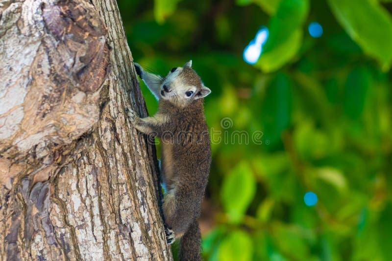 Σκίουρος σε ένα δέντρο σκίουρος σε ένα δέντρο που προσέχει το φωτογράφο ψάχνοντας τα τρόφιμα στοκ φωτογραφία με δικαίωμα ελεύθερης χρήσης