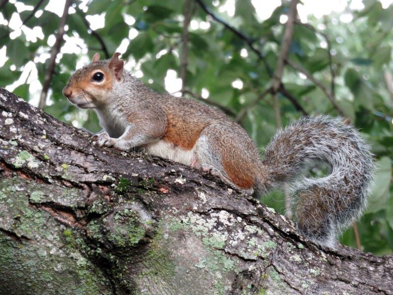 Σκίουρος σε ένα δέντρο στοκ εικόνες με δικαίωμα ελεύθερης χρήσης