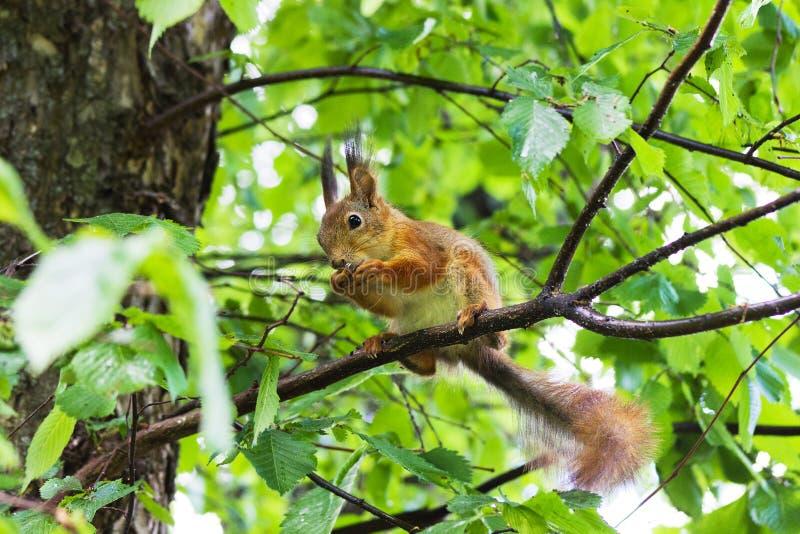 Σκίουρος σε ένα δέντρο στοκ φωτογραφία