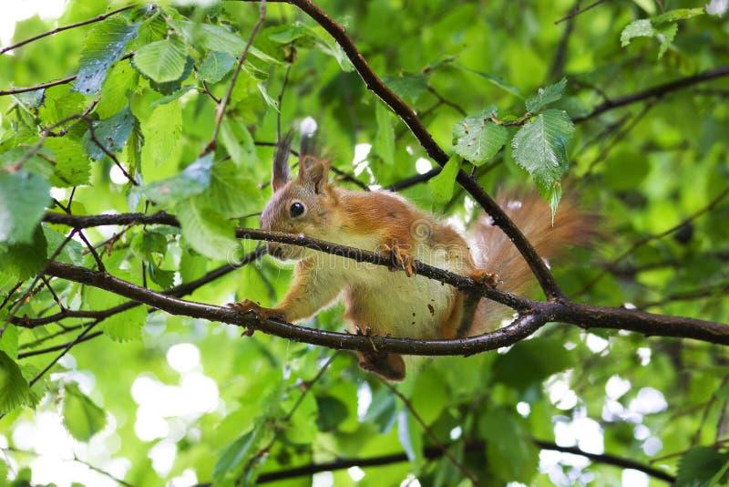 Σκίουρος σε ένα δέντρο στοκ φωτογραφία με δικαίωμα ελεύθερης χρήσης