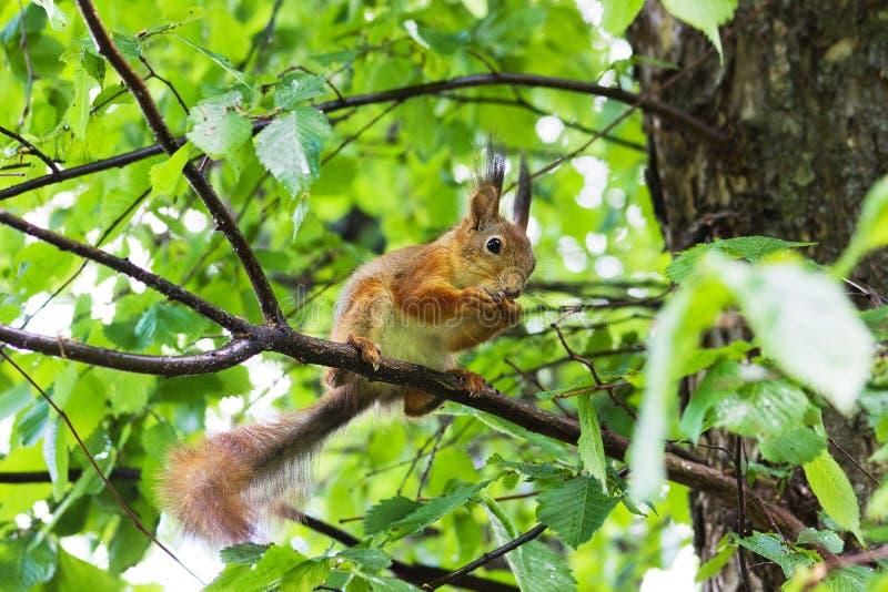 Σκίουρος σε ένα δέντρο στοκ φωτογραφίες με δικαίωμα ελεύθερης χρήσης