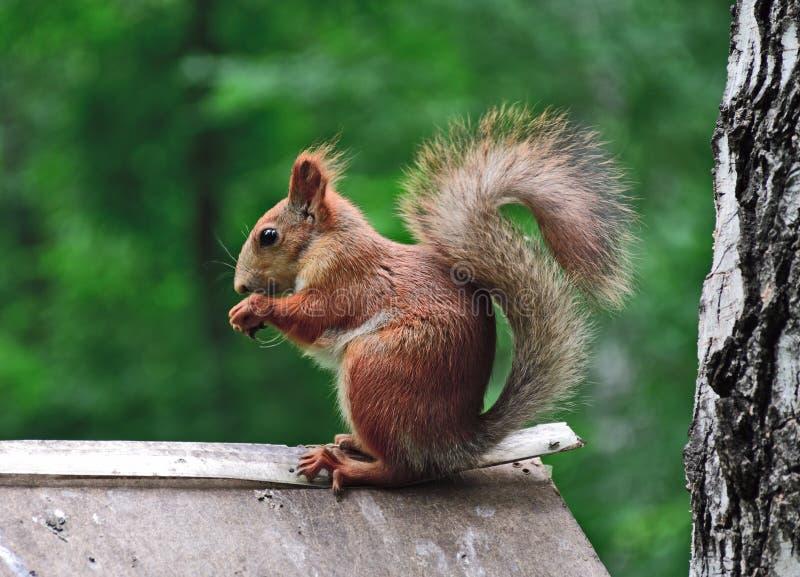 Σκίουρος σε ένα θολωμένο δασικό υπόβαθρο στοκ εικόνα με δικαίωμα ελεύθερης χρήσης