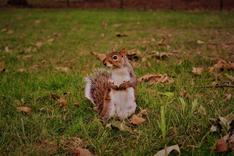 Σκίουρος σε NYC στοκ εικόνες