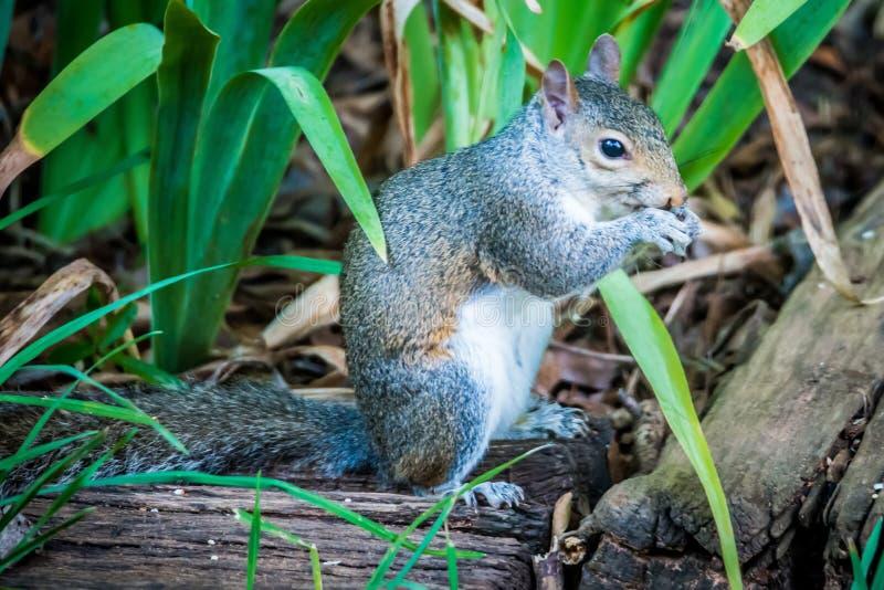 Σκίουρος στην κατανάλωση αγριοτήτων στοκ φωτογραφία με δικαίωμα ελεύθερης χρήσης