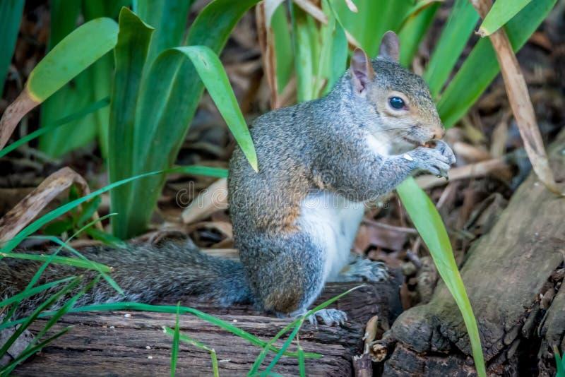 Σκίουρος στην κατανάλωση αγριοτήτων στοκ εικόνες