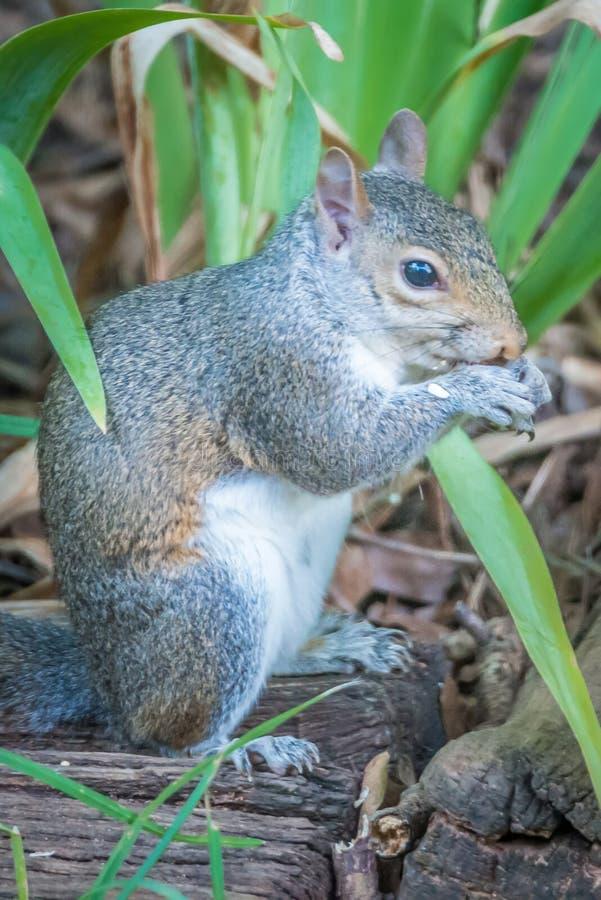 Σκίουρος στην κατανάλωση αγριοτήτων στοκ φωτογραφία