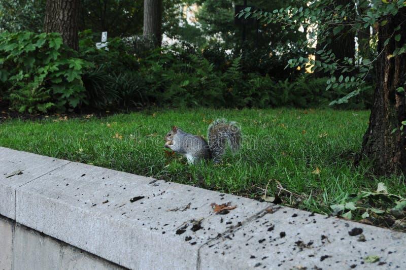 Σκίουρος στις Ηνωμένες Πολιτείες, ένας πιάνω στην έκθεση της Νέας Υόρκης στοκ εικόνα
