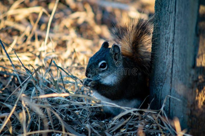 Σκίουρος στον ανοικτό τομέα χλόης στοκ φωτογραφίες