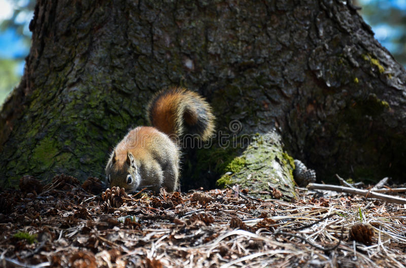 Σκίουρος στο δάσος στοκ εικόνα