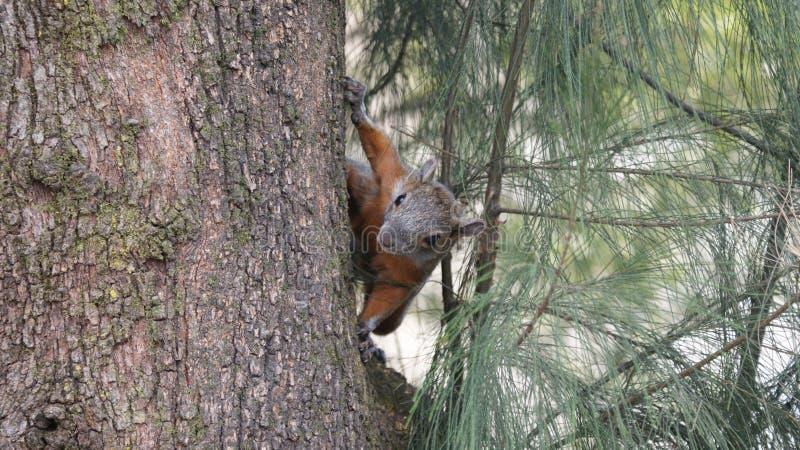 Σκίουρος στο δέντρο ocote στη γυμναστική στοκ φωτογραφία