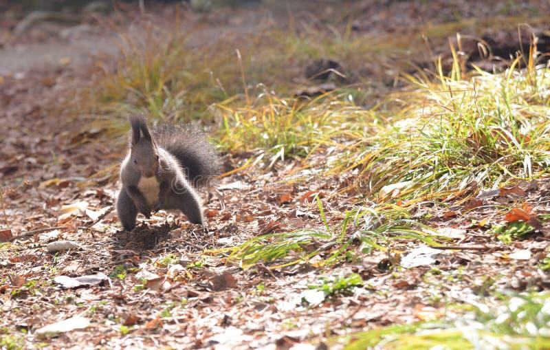 Σκίουρος στο πάρκο που στέκεται επάνω στοκ εικόνες