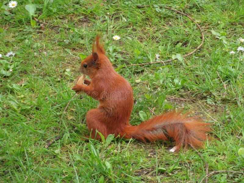 Σκίουρος στο πάρκο στοκ εικόνες