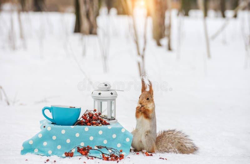 Σκίουρος στο χιόνι που τρώει ένα καρύδι δασικός χειμώνας ήλιων φύσης Εγκατάσταση νεράιδων στοκ φωτογραφίες