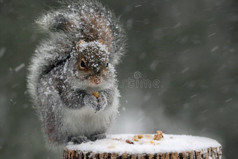 Σκίουρος το χειμώνα στοκ εικόνες