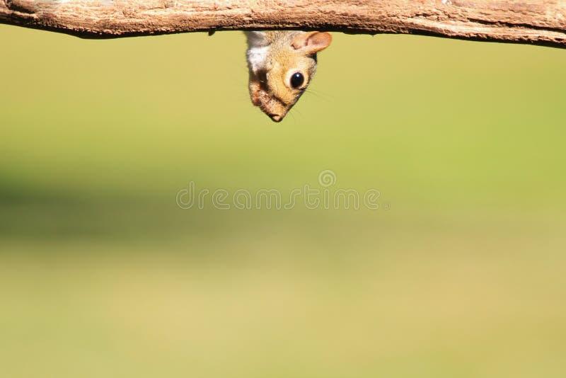 Σκίουρος - υπόβαθρο άγριας φύσης - χιούμορ στη φύση στοκ φωτογραφίες με δικαίωμα ελεύθερης χρήσης