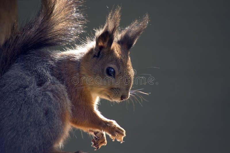 Download σκίουρος στοκ εικόνα. εικόνα από αστείος, σκιά, πόδι, παγωμένος - 125235