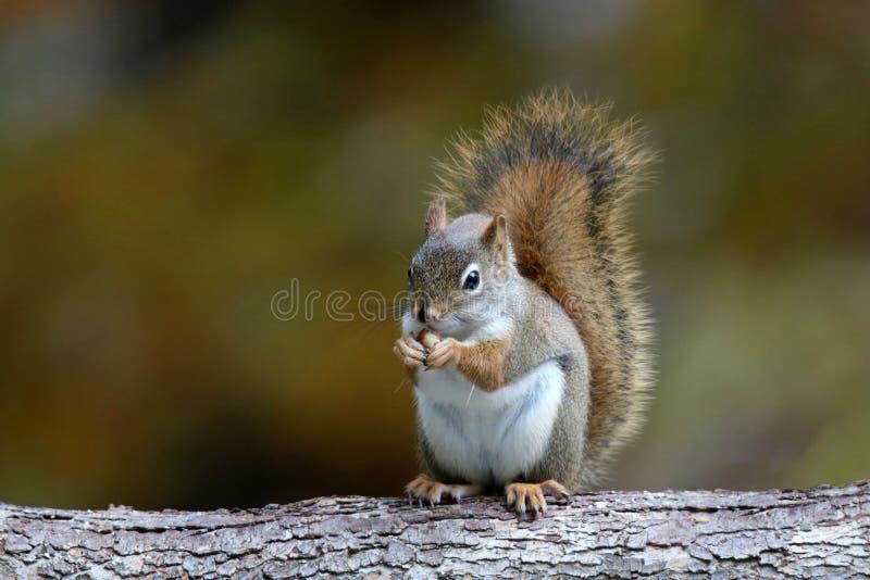 Σκίουρος Little Red το φθινόπωρο που τρώει ένα καρύδι στοκ φωτογραφία με δικαίωμα ελεύθερης χρήσης