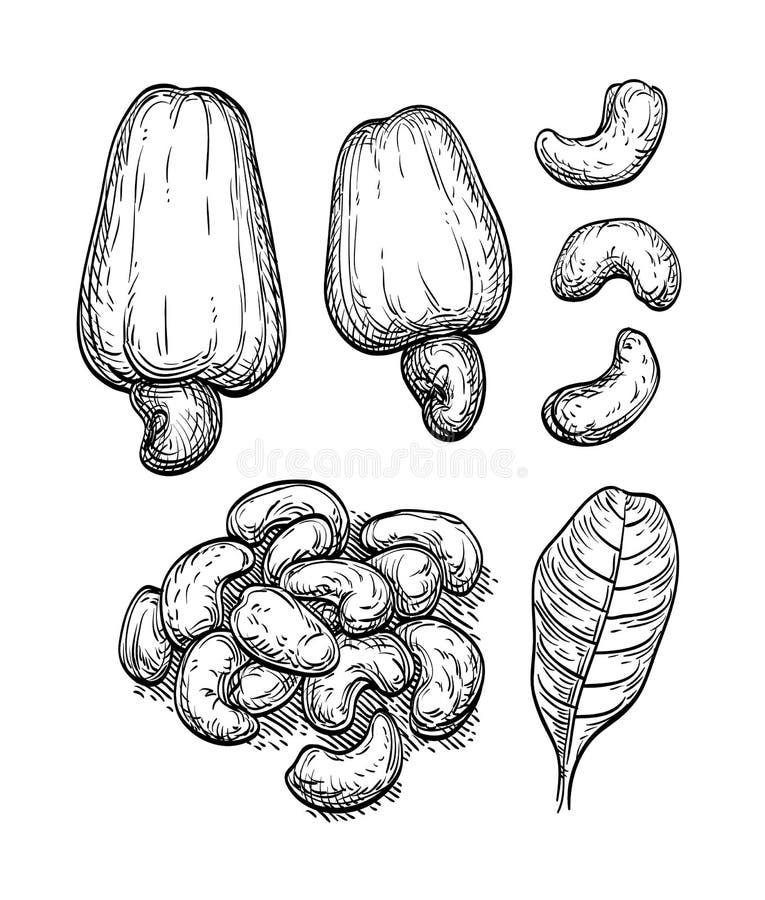 Σκίτσο μελανιού των καρυδιών απεικόνιση αποθεμάτων