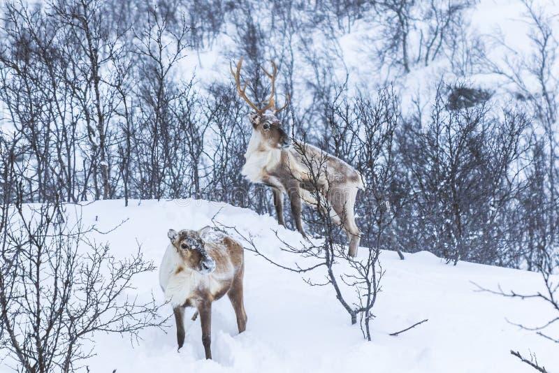 Σκανδιναβικό άγριο αρσενικό και θηλυκό τάρανδος ή caribou που στέκεται το ι στοκ εικόνα με δικαίωμα ελεύθερης χρήσης