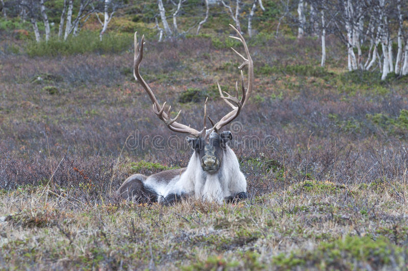 Σκανδιναβικός τάρανδος στοκ φωτογραφίες