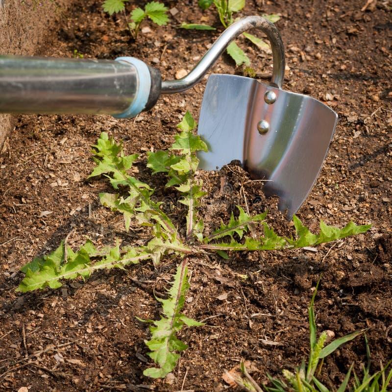 Σκαπάνη κήπων με το ζιζάνιο στο έδαφος στον κήπο στοκ φωτογραφία με δικαίωμα ελεύθερης χρήσης