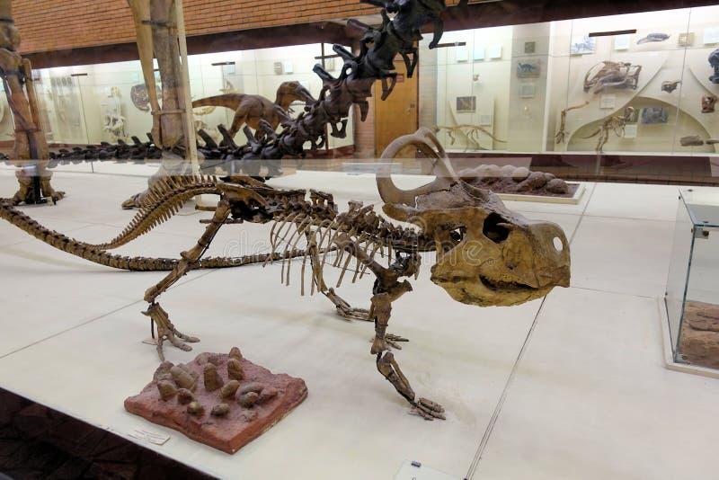 Σκελετός του δεινοσαύρου protoceratops quadpie Paleontological την 1η Δεκεμβρίου της Μόσχας 2018 μουσείων στοκ εικόνα
