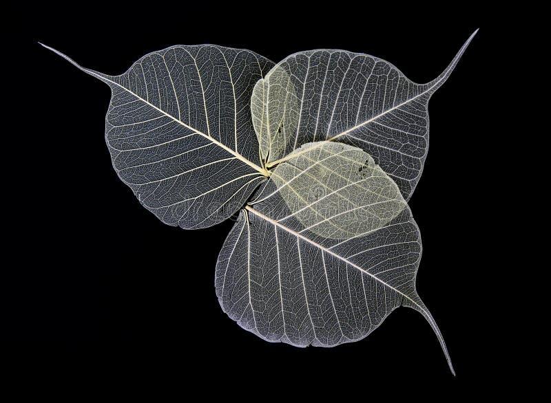 σκελετός φύλλων λουλ&omicro στοκ εικόνα με δικαίωμα ελεύθερης χρήσης