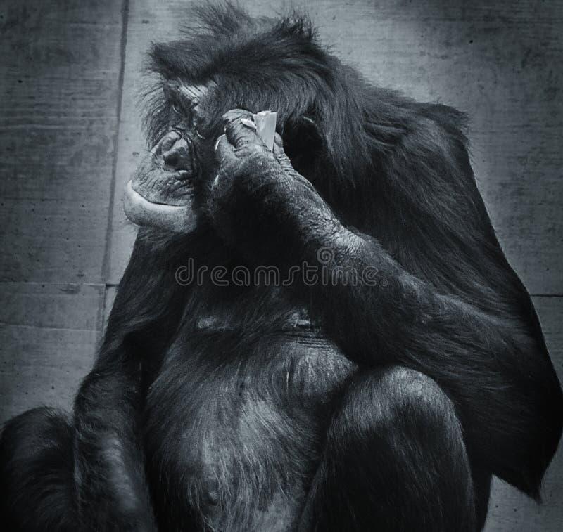 Σκεπτόμενος πίθηκος στοκ φωτογραφία με δικαίωμα ελεύθερης χρήσης