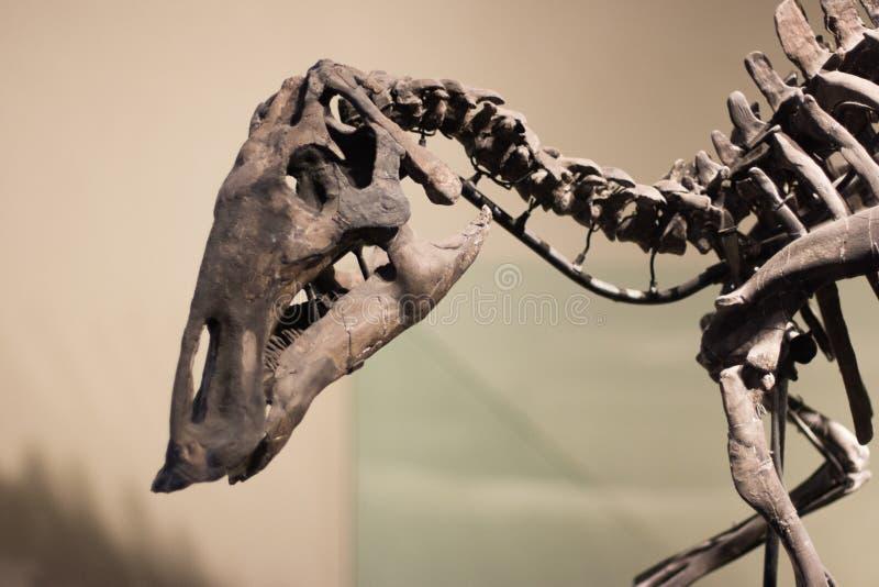 Σκελετός δεινοσαύρων στοκ φωτογραφίες με δικαίωμα ελεύθερης χρήσης
