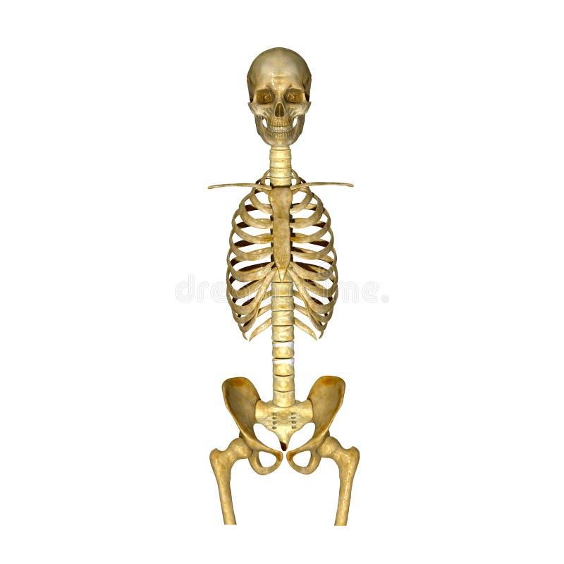 Σκελετός: Κρανίο, πλευρά, σπονδυλική στήλη και κόκκαλο ισχίων απεικόνιση αποθεμάτων