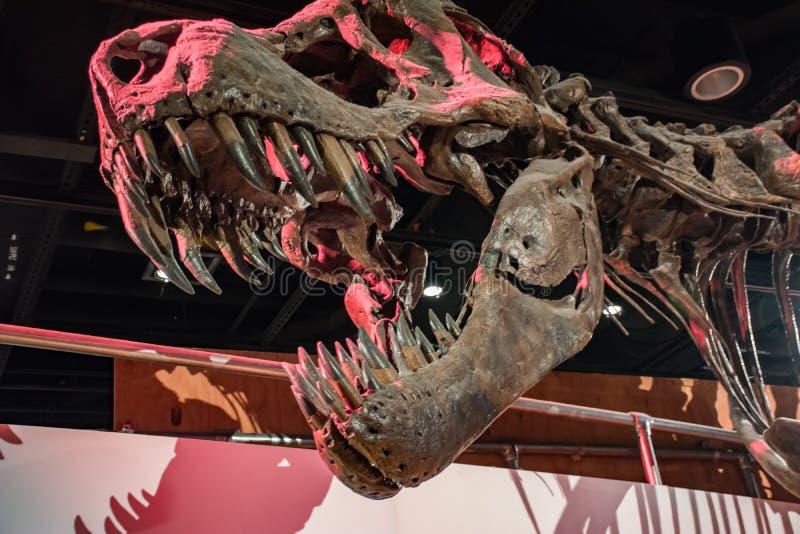 Σκελετός Rex τυραννοσαύρων στο μουσείο στοκ φωτογραφία