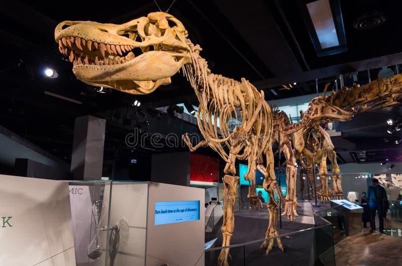 Σκελετός Tarbosaurus μέσα στο μουσείο της Μελβούρνης στοκ εικόνα