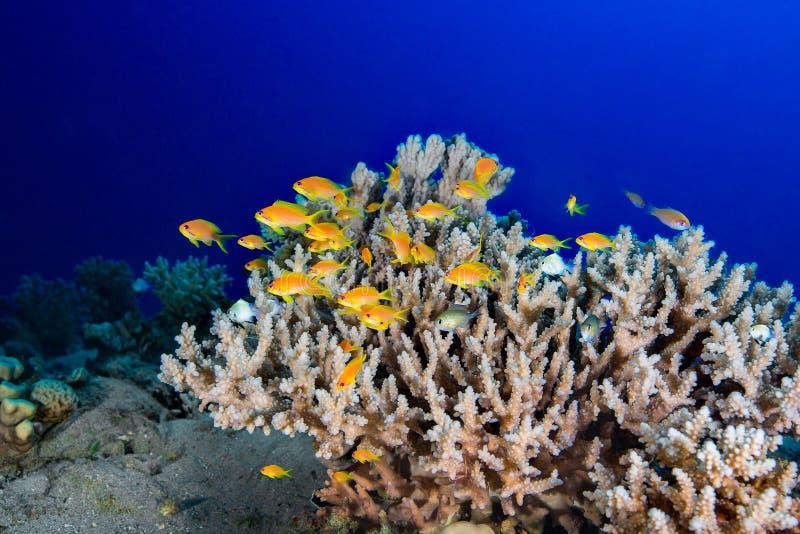 Σκηνή κοραλλιογενών υφάλων με τα τροπικά ψάρια υποβρύχιο με ραβδώσεις volitans Ερυθρών Θαλασσών pterois φωτογραφιών ψαριών στοκ εικόνα