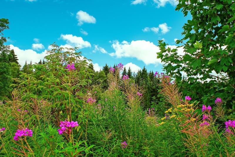 Σκηνή λουλουδιών στα βουνά της μαύρης δασικής Γερμανίας στοκ εικόνα με δικαίωμα ελεύθερης χρήσης