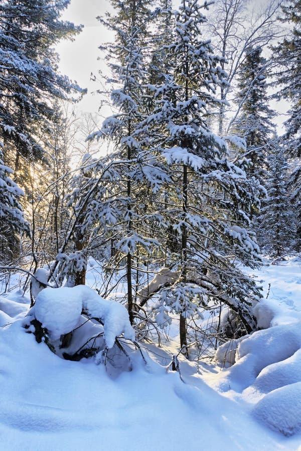 Σκηνή της χειμερινής δασώδους περιοχής με τα χιονισμένα δέντρα έλατου στοκ εικόνα