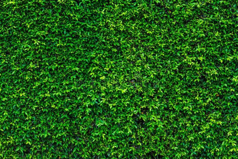 Σκηνικό του πράσινου φυσικού τοίχου φύλλων στοκ φωτογραφίες