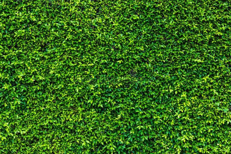 Σκηνικό του πράσινου φυσικού τοίχου φύλλων στοκ φωτογραφίες με δικαίωμα ελεύθερης χρήσης
