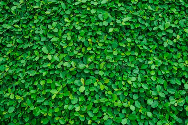 Σκηνικό του πράσινου φυσικού τοίχου φύλλων στοκ εικόνα με δικαίωμα ελεύθερης χρήσης