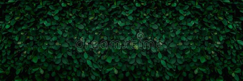 Σκηνικό του πράσινου φυσικού τοίχου φύλλων στοκ φωτογραφία με δικαίωμα ελεύθερης χρήσης
