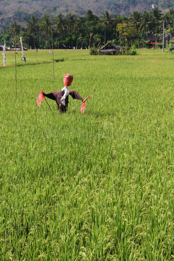 Σκιάχτρο στους τομείς ρυζιού στοκ φωτογραφίες